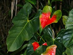 Anthurium andraeanum - Anthurium, Flamingo-lily, Flamingo Flower, Oilcloth-flower, Tail Flower (multicolored flower)