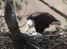 Baby Bald Eagle, Baby Feeding, Bald Eagles, Birds, Animals, Instagram, Babies, American, Animales