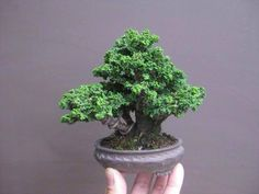 Bonsai. I want one so badly for my dorm room