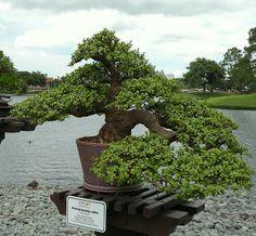 JPB:Bonsai Collection4   Kintall: PORTULACARIA AFRA ( JADE BONSAI ) - GALLERY