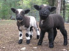 Mike & Ike!  Babydoll Southdown-cross lambs @Joan Attree Ridge Farm Yarn Co.  #sheep,#lambs#,Romney Ridge Farm