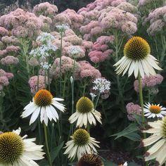 Echinacea, allium and sedum 'autumn Joy' colouring up.