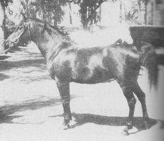 IBN FAYDA (Ibn Rabdan x Fayda, by Jamil) 1927 bay stallion