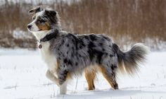 Fotografía de un perro Pastor Australiano en la nieve. Preciosa figura de una hembra de Pastor Ovejero Australiano. Raza de perro (Photograph of an Australian Shepherd dog in the snow. Beautiful figure of a female Aussie. Breed of dog).