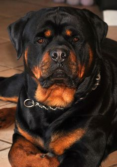 Awesome Rottweiler information is available on our internet site. German Rottweiler, Rottweiler Puppies, Big Dogs, Cute Dogs, Dogs And Puppies, Dog Attack, Bulldog Breeds, Pet Breeds, West Highland Terrier