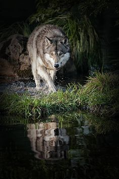 Cool Wolfy
