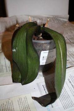 schlaffe Blätter Growing Orchids, Growing Plants, Orquideas Cymbidium, Hydrangea Arrangements, Big Living Rooms, Hydrangea Care, Christmas Crafts To Make, Cymbidium Orchids, Orchid Plants