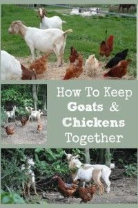 garden care yards Describes how keeping goats chickens in the same yard together is possible if special care practices are ed. Keeping Goats, Raising Goats, Raising Chickens, Raising Farm Animals, Keeping Chickens, Backyard Farming, Chickens Backyard, Backyard Ideas, Patio Ideas