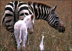 zebra with albino foal