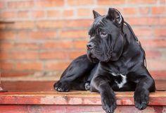 Cane Corso, big black dog, pets, Italian breeds of dogs, Italian cane Cane Corso Italian Mastiff, Cane Corso Mastiff, Cane Corso Dog, Cane Corso Puppies, Black Dogs Breeds, Dog Breeds, Big Dogs, Cute Dogs, Italian Dogs