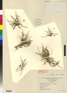 Taeniophyllum leytense