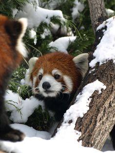 One+Two+Three+on+Red+Panda+by+KodaSilverwing.deviantart.com+on+@deviantART