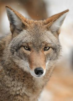 Coyote - he's been speaking to me a lot lately...these eyes want my attention.