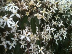 Evergreen clematis (Clematis armandii). This is a vigorous evergreen vine, one of the few evergreen vines hardy enough to survive winters in the pacific northwest.