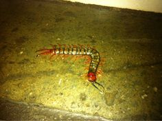 Sure, they're pretty small but venomous centipedes aren't exactly to be taken lightly.