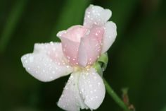 Rose Bud by joann.kunkle