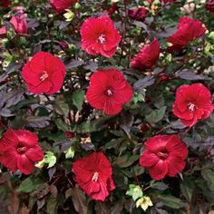 Spring Hill Nurseries Red Flowers Midnight Marvel Hibiscus Live Bareroot Perennial Plant - The Home Depot Shade Flowers, Red Flowers, Beautiful Flowers, Beautiful Gardens, Beautiful Places, Hibiscus Plant, Hibiscus Flowers, Bonsai, Spring Hill Nursery