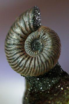 Ammonite Fossil -