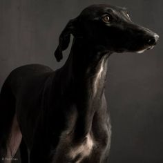 Spanish Greyhound.  Beautiful.