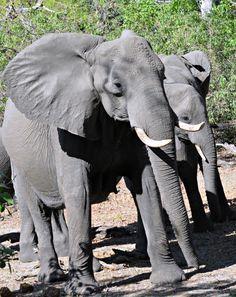 Botswana elephants (Wil 4600)