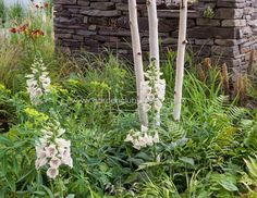 Digitalis adds colour to any shady border