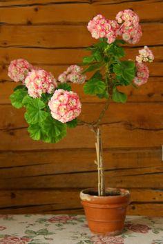 Geranium Topiary