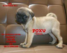 DOB 22 Oktober 2014 Sdh vaksin I4,obat cacing sdh 2X STAMBOEM ON PROGRESS  MINAT CALL or WA-Anni-081572985289 PIN BB : 51A22388 -Anni www.breederanjingras.blogspot.com No. Anggota PERKIN JABAR 04-001856 NO SMS LOKASI BANDUNG  Foxy SOLD OUT