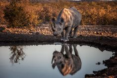 Rare desert black rhino drinking with its reflection. Wildlife image by wildlife photographer Dave Hamman