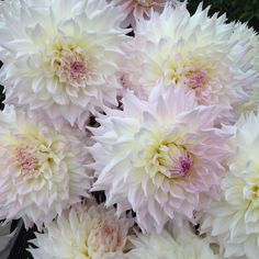 I'm so excited that 6 businesses are now selling our cultivar KA's Cloud.  You can now order tubers or plants from Corralitos Gardens, Floret Flower Farm, Swan Island Dahlias, Stonehouse Dahlias, Creekside Dahlias, and JS Dahlias.  It's fun for me to see it getting out in the world!  #dahlia #dahlias #dahliafarm #santacruzdahlias #weddingflowers
