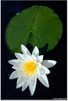 Lotus, Forest Flowers, Dark Winter, Midnight Sun, Dark Backgrounds, Fungi, Finland, Wilderness, Natural Beauty
