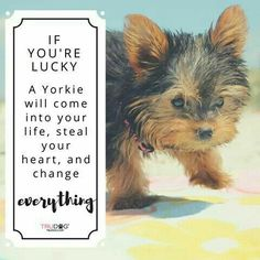 I desperately miss my little one #yorkshireterrier