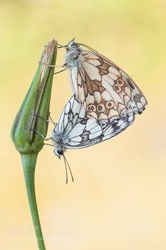 Melanargia galathea by holger2061 #nature #photooftheday #amazing #picoftheday