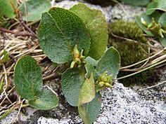 Musøre – Wikipedia Fungi, Plant Leaves, Flora, Plants, Mushrooms, Plant, Planets