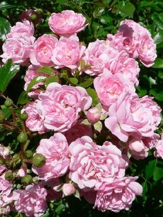 Growing Roses, How To Plant and Grow Roses Like An Expert