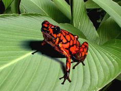 talk to the frog Reptiles And Amphibians, Mammals, Frog Tank, Animals And Pets, Cute Animals, Poison Dart Frogs, Pet Tiger, Cute Frogs, Frog And Toad