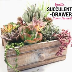 Succulent Arrangement  Rustic Drawer by BloomersNurseryInc on Etsy