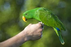 Male eclectus parrot balances on mans hand. - Malcolm MacGregor/Moment/Getty Images