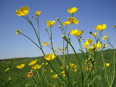 Buttercups remind me of my Daddy... we would walk through the fields surverying the hay crop hand in hand, check barbed wire fences or look for lost horse halters. We'd always pick buttercups to bring home to my mama.