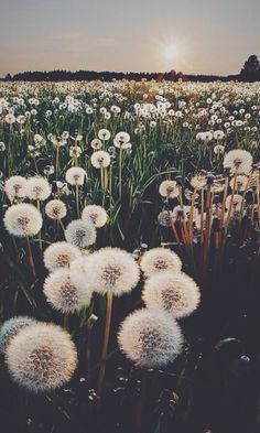 A field of dandelions on a summer's evening. We just want to run through it!