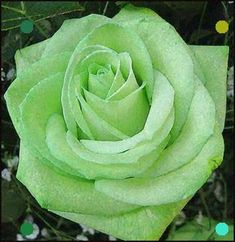 Shade Garden Flowers And Decor Ideas Mint Green Rose Color For Flower Tattoo Beautiful Rose Flowers, Love Rose, Pretty Flowers, Beautiful Beautiful, Mint Green Flowers, Beautiful Pictures, Ronsard Rose, Coming Up Roses, Rose Pictures
