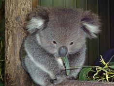 Buddha Baby Koala