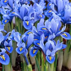 Grow Alida dwarf irises for some of the prettiest soft blue spring flowers. Vigorous iris bulbs, photos, growing info & success tips. Blue Iris Flowers, Blue Spring Flowers, Love Flowers, Colorful Flowers, White Flowers, Iris Reticulata, Dwarf Iris, Summer Flowering Bulbs, British Flowers