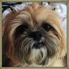 Happy Friday  #shihtzu #shihtzulovers #ilovemyshihtzu #shihtzusofinstagram #dogsofinstagram #weeklyfluff #doglover #shitzu #instadogs #cute #love #shihtzumania #shihtzusociety #shihtzuoftheday #shihtzugram #shihtzufamily #lovedogs #doglovers #ilovemydog #furbaby #smalldogs #cutedogs #dogstagram #itsfriday  Photo By: princess_laila101  http://bit.ly/teacupdogshq