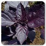 Organic Purple Dark Opal Basil