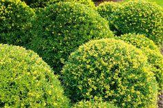 Ilex crenata 'Dark Green''is een nieuwe decoratieve en stekelloze hulst, deze middelgrote struik of kleine boom is wintergroen en heeft van nature een smalle, compact opgaande vorm. Rond mei, juni bloeit hij onopvallend met matwitte bloempjes die aantrekkelijk geuren en in de herfst gevolgd worden door zwarte steenvruchten. Ilex crenata als soort is tweehuizig, dwz er bestaan mannelijke en vrouwelijke planten, Ilex crenata'Dark Green'' is een vrouwelijke plant. Deze donkergroene Japanse…