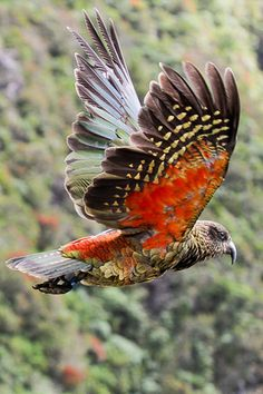 The Kea is a large species of parrot found on the South Island of New Zealand. Although it is mostly olive green, it has brilliant orange under its wings. They are known for their intelligence and curiousity. The kea is the world's only alpine parrot.