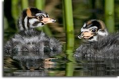 Pied-billed Grebe Chicks. Viera Wetlands (Ritch Grissom Memorial Wetlands) Florida. Off I-95 in Brevard County.