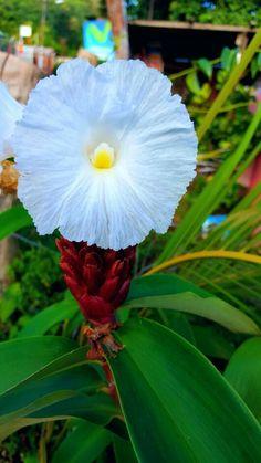 Flor blanca de jardín.  Tonos amarillos #florblanca #flor #blancoyamarillo #nicaragua #jardin