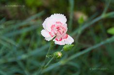 Tollas szegfű (Dianthus plumarius) Carnations, Home And Garden, Plants, Rock, Skirt, Locks, The Rock, Plant, Rock Music