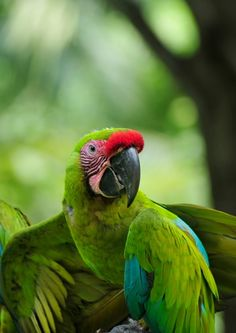 A Great Green Macaw